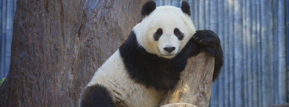 PandaBoy